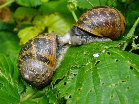 lumache in giardino lumache in giardino come tenerle lontane verdeblog