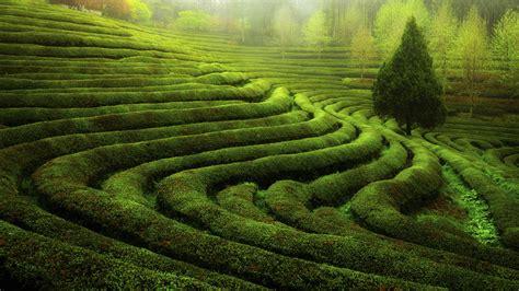 green korea wallpaper the morning of the green tea field boseong south korea