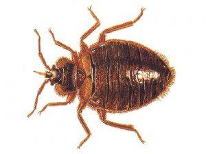 bed bugs chicago bed bug treatment chicago prevention cost cheap