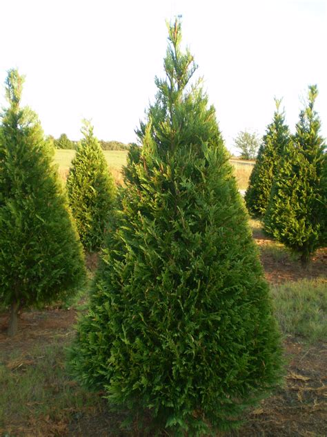 best 28 christmas tree farms in northern virginia