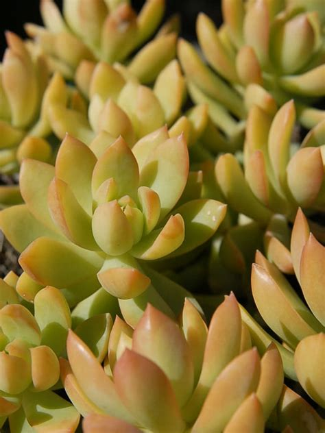 sedum adolphii golden sedum is a lovely high colored tender succulent up to 8 inches 20 cm