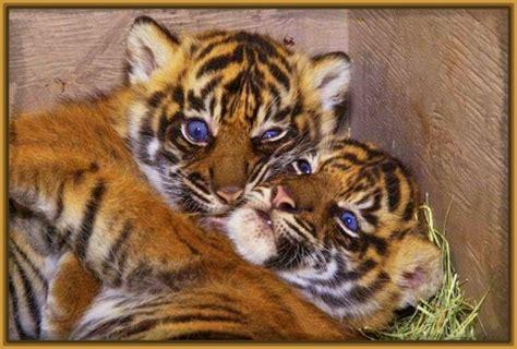 imagenes fondo de pantalla tigre fondos de pantalla tigres cachorros archivos fotos de tigres