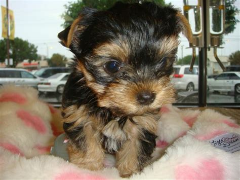 teacup yorkie potty home raised and potty trained teacup yorkie puppies