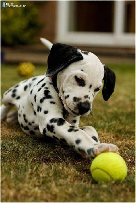 baby dalmatian puppies baby dalmatian a for spots