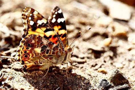 tattoo camo argentina 22 best painted lady butterfly images on pinterest