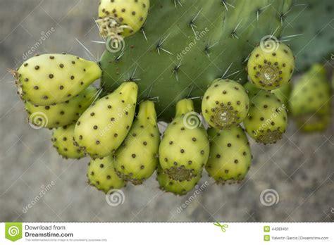 image prickly pear cactus fruit download prickly pear cactus fruit stock photo image 44283431
