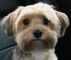 why has my maltese terrier got thin hair yorkie maltese hair cuts search results hairstyle