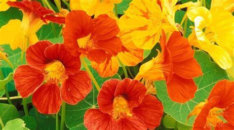 come curare un giardino nasturzio come curare e coltivare i nasturzi in vaso e in