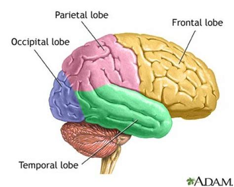 Four Sections Of The Brain the four lobes of the brain