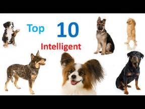 smartest breed in the world poodle the smartest dogs in the world funnycat tv