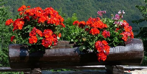 piante fiorite perenni piante fiorite perenni per tutte le stagioni