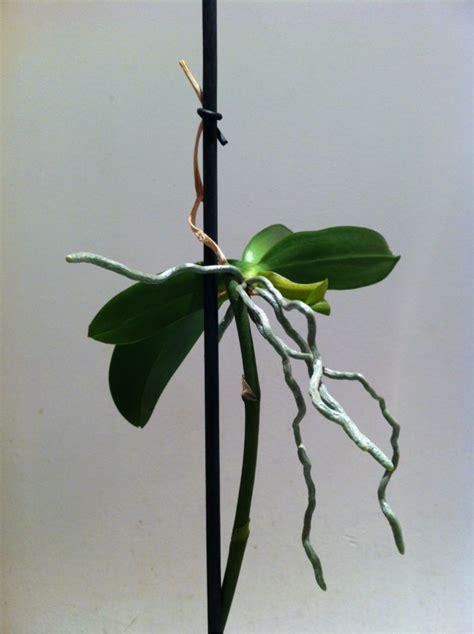 come curare orchidea in vaso 17 migliori coltivare orchidee su orchidee