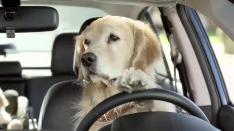 golden retriever driving car commercial must ad labrador my favorite breed