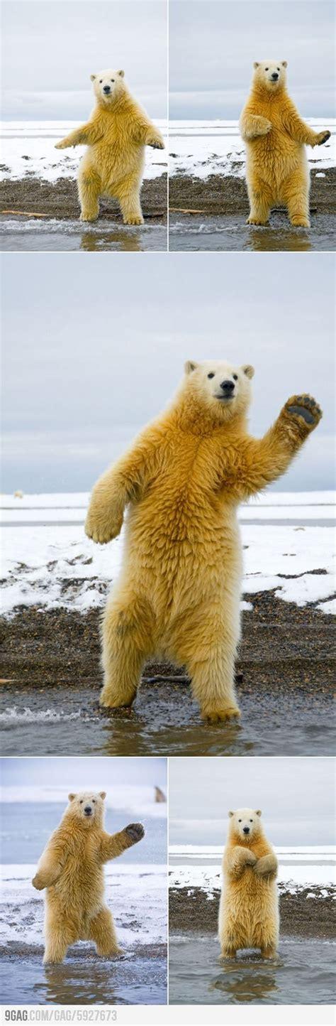 Dancing Polar Bear Meme - this polar bear can dance polar bear bears and dancing