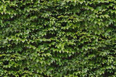 fiori edera edera ricante piante in giardino caratteristiche