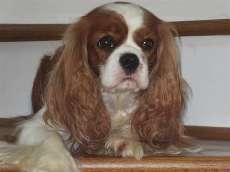 king charles cavalier puppies nc pine hill cavaliers