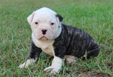 johnson american bulldog puppies for sale american bulldog puppies for sale 100 johnson american bulldogs breeds picture