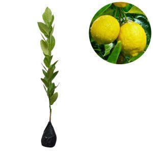 Bibit Pisang Cavendish Di Bali 8 cara menanam lemon dari biji dan perawatannya