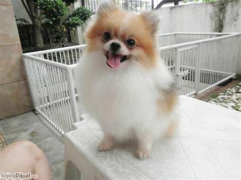 Pom Mini 3nozel 3 gambar gambar anjing mix pom gambarmantap image result mini di rebanas rebanas