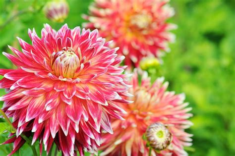 how to grow and care for dahlia plants