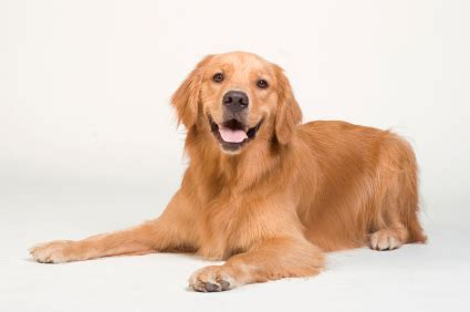 golden retriever weight golden retriever vetwest animal hospitals