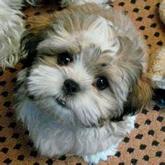 shih tzu puppy care housebreaking 1000 images about shih tzus on shih tzu shih tzu puppy and puppys