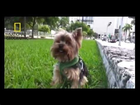 betty s teacup yorkies puppy mill of a happy yorkie doovi