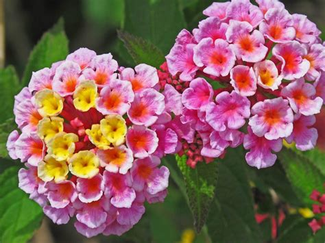 lantana colors multi colored lantana flowers reasons lantana