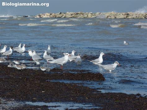 gabbiano comune gabbiano comune 30 biologia marina mediterraneo
