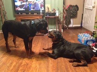 rottweiler for sale in va view ad rottweiler puppy for sale virginia lynchburg usa