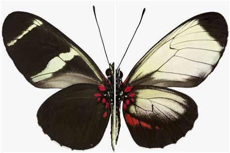 Butterfly Wings secrets of butterfly wing patterns revealed by gene