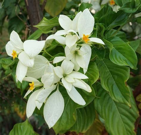 pohon peneduh  bunga  spektakuler desain lanskap