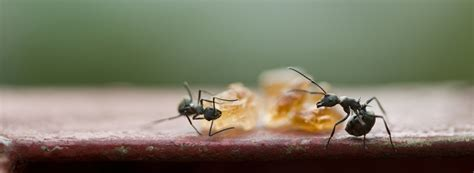 how to get rid of ants in basement how to get rid of ants rentokil pest
