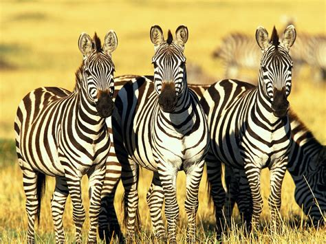 cool zebra wallpaper zebra wallpaper high resolution 10884 wallpaper cool