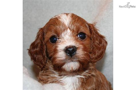 cavapoo puppies oregon cavapoo for sale for 1 300 near portland oregon ee6ad5e0 1761