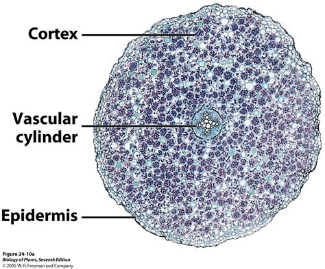 root cross section dicot picture page