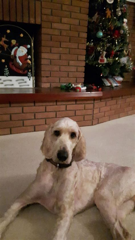 setter cross dog for sale setter poodle cross needs home ipswich suffolk pets4homes