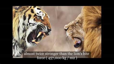 Fight Like A Tiger Win Like A Chion Darmadi Darmawangsa 1 new discovery tiger vs fight who would win