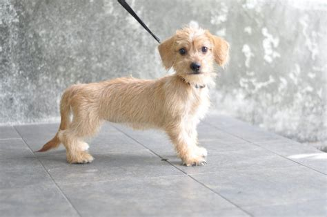 shih tzu cross breed dachshund shih tzu 3 months and pictures on