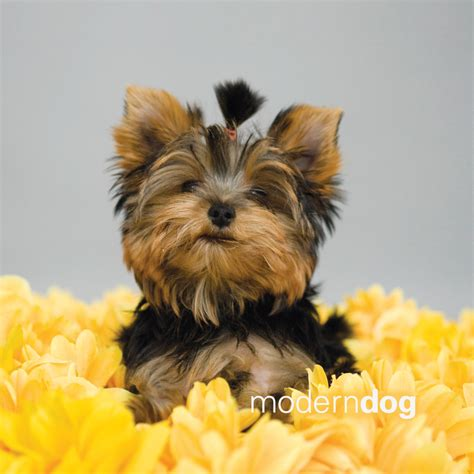 how to yorkie to on pad yorkie grooming key to show quality yorkies wallpaper breeds picture