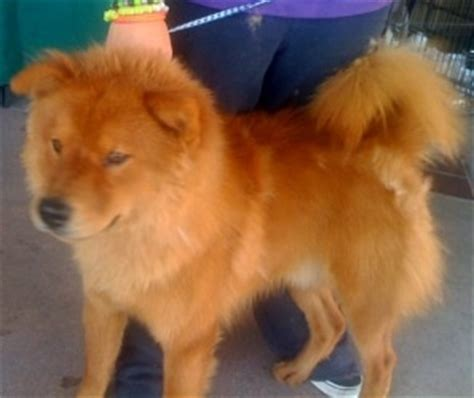 golden retriever chihuahua mix grown the 25 best ideas about chow chow mix on corgi mix breeds german dogs