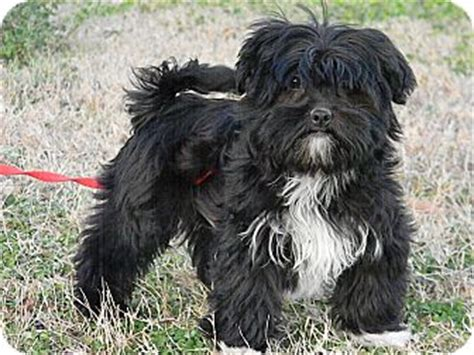 black shih tzu mix black shih tzu yorkie mix www pixshark images galleries with a bite