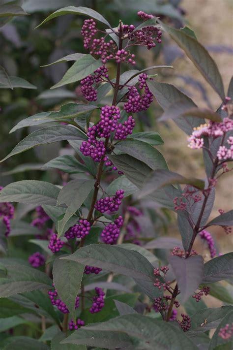 purple pearls beautyberry callicarpa