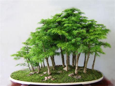Bor Bonsai forest bonsai a deeper understanding bonsai bark