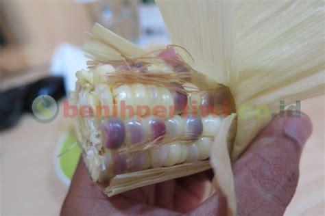 merebus jagung menjadi batu akik benih pertiwi