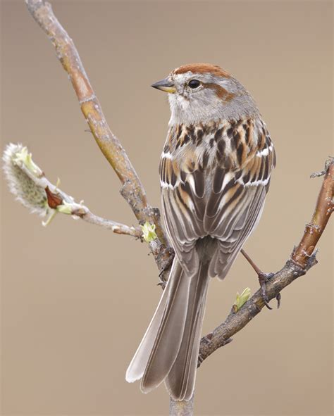 american tree sparrow audubon field guide