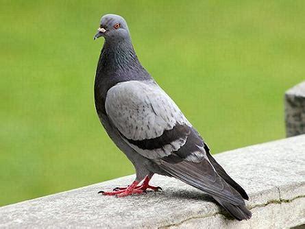 imagenes de luto con palomas controla a las palomas humanitariamente animalia latina blog