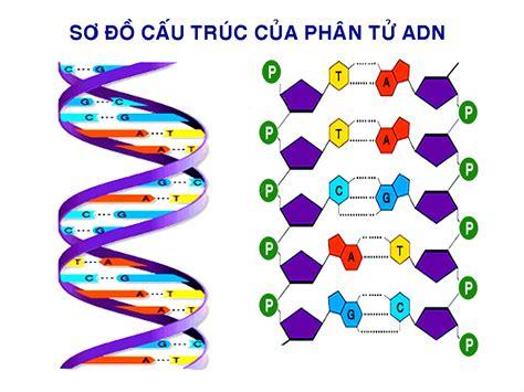 cadena de adn de 15 nucleotidos trung t 226 m nghi 234 n cứu v 224 sản xuất học liệu trường đại học