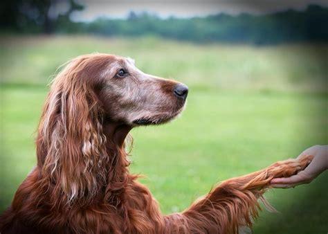 old setter dog old irish setter i love this dog irish setter pinterest