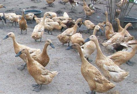 Dod Bebek Peking Betina agraduta pertamas itik mojosari